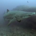 ragged-tooth-shark