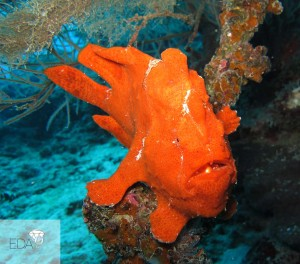 A red frogfish