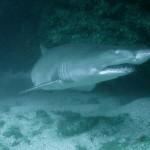 The smily sand tiger shark