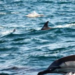 Dolphins at the sardine run