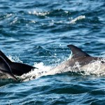 Dolphins jumping at the sardine run
