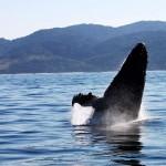 A whale at the sardine run