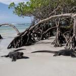 Sea iguanas in Tortuga Bay