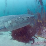 Seven gills cow shark