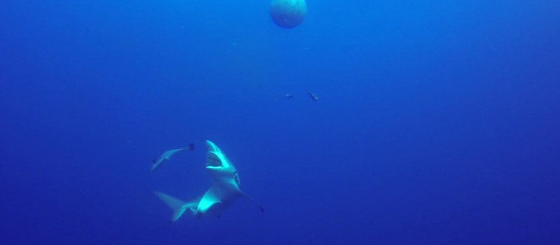 A blacktip shark trying to catch a remora