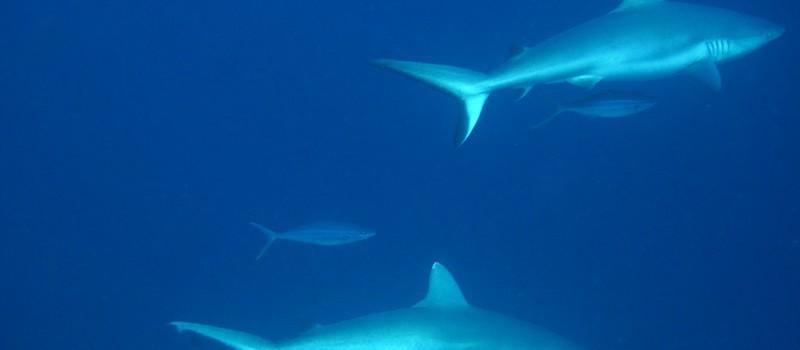 Sharks in Warren