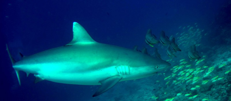 One of the grey reef sharks of Shark Thila