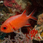 A soldierfish