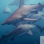 Shark dive in South Africa