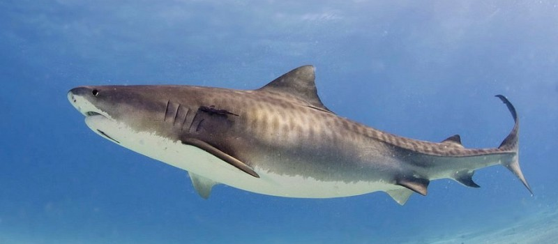 A tiger shark - Photo credit: Albert Kok