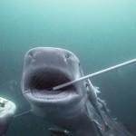 tiger-shark-baited