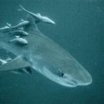 tiger-shark