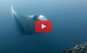 v-sharks-mantas-galapagos