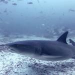Whitetip shark in Galapagos