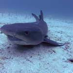 Whitetip shark sleeping
